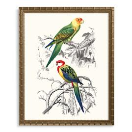 Carolina and Rosella Parrot Print from the New