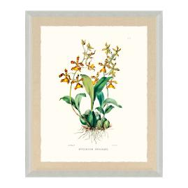 Bateman Orchid VI Print from the New York