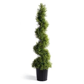 Cypress Spiral Topiary