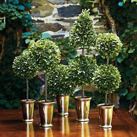 Mini Boxwood Topiaries, Set of Five
