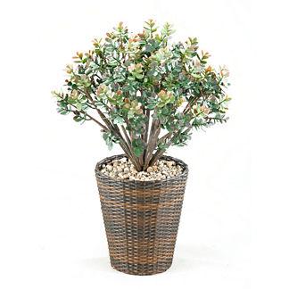 Jade Plant in Basket