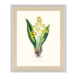 Bateman Orchid Giclee Print II from the New York Botanical Garden Archives
