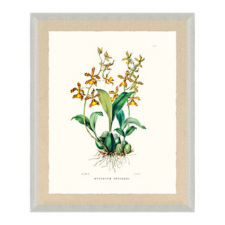 Bateman Orchid Giclee Print VI from the New York Botanical Garden Archives