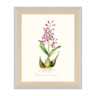 Bateman Orchid Giclee Print V from the New York Botanical Garden Archives