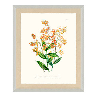 Bateman Orchid Giclee Print X from the New York Botanical Garden Archives