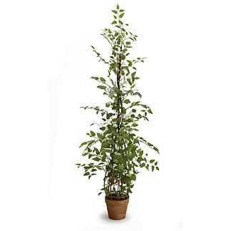 Potted Asparagus 48-inch Fern Plant
