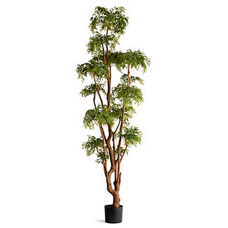7 ft. Aralia Tree