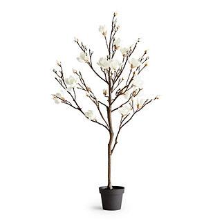 5' Magnolia Plant
