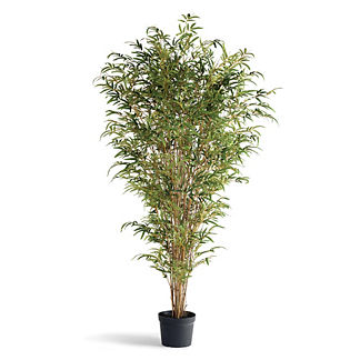 5-1/2' Bamboo Outdoor Plant