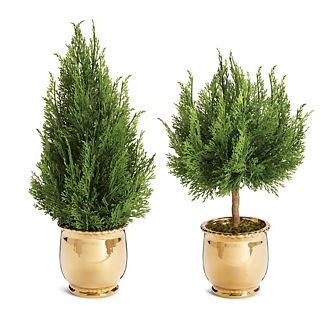 Cypress Tree in Ceramic Pot