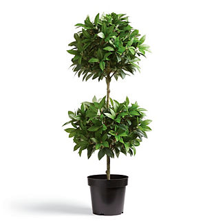 Double Ball Leaf Potted Plant