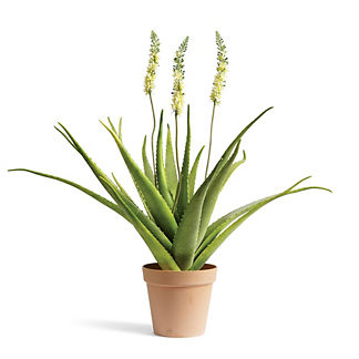 Outdoor Bottlebrush Aloe Plant