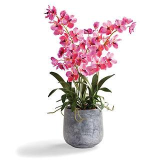 Vanda Orchid in Cement Pot