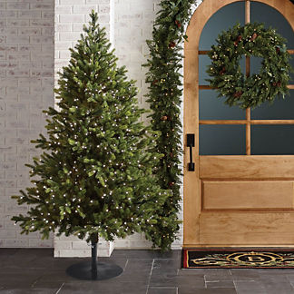 Norway Spruce Full Profile Outdoor Tree