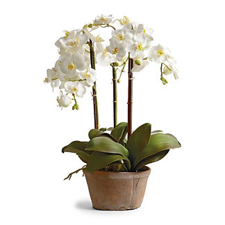 Phalaenopsis Potted Planter
