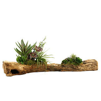 Echeveria and Tilandsia on Wooden Log
