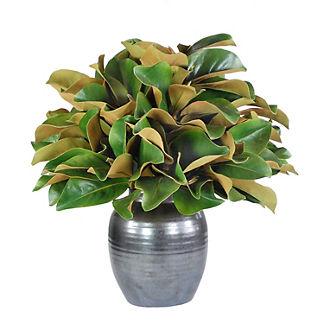 Magnolia in Crete Pot