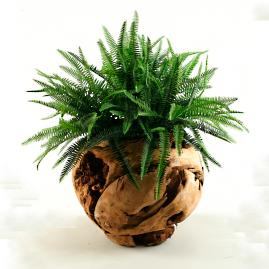 Boston Fern in Natural Wood Vase