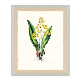 Bateman Orchid II Print from the New York