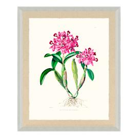 Bateman Orchid Giclée Print IV from the New