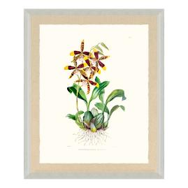 Bateman Orchid I Print from the New York