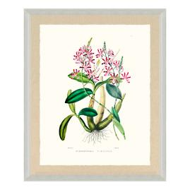 Bateman Orchid VIII Print from the New York