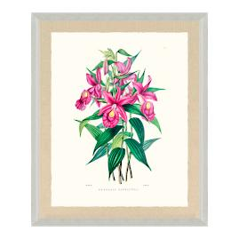 Bateman Orchid XII Print from the New York