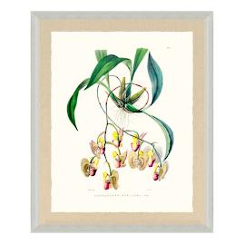 Bateman Orchid Giclée Print XI from the New