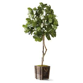 Fiddle Leaf Fig Tree in Rustic Wood Planter