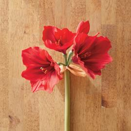 Amaryllis Stem, Set of Four