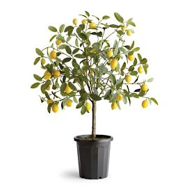 "50"" Potted Lemon Tree"