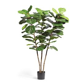 Outdoor 6 ft. Triple-leaf Fiddle Plant