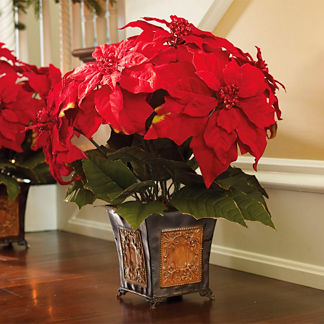 Poinsettias in Cachepot