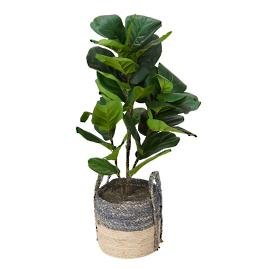 Fiddle-leaf Fig Plant in Basket